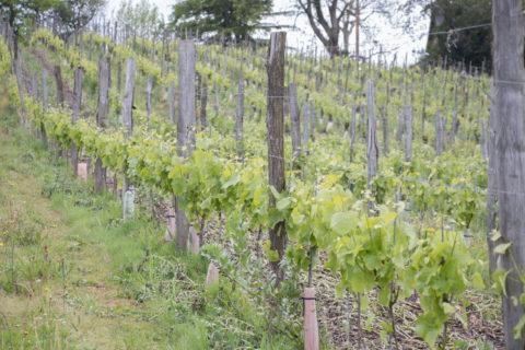 Vignes Domaine Larroudé Soupçons en Jurançon